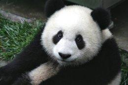 Panda_Cub_from_Wolong,_Sichuan,_China.JPG